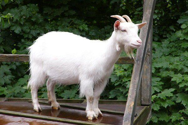 Ассам-хилл коза