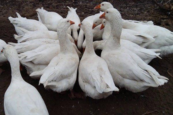 Кормление гусей породы Датский лагерт