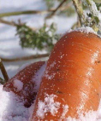 Морковь под снегом