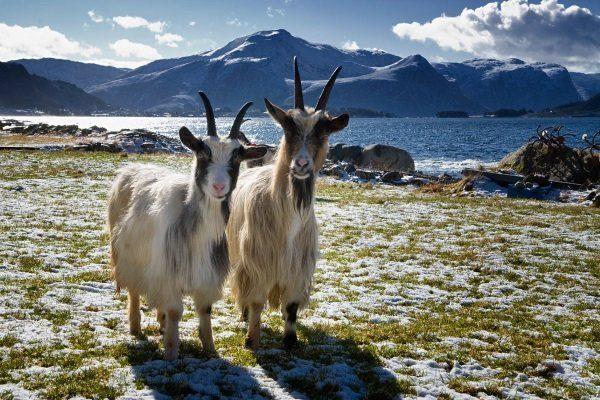 Вестландские (норвежские) козы
