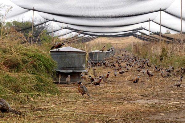Открытый вольер с фазанами