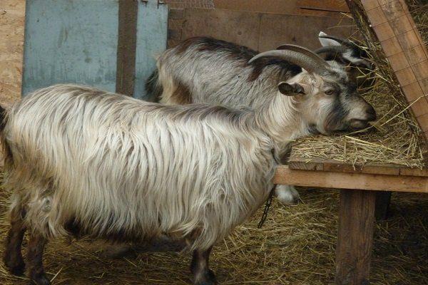 Каганская коза