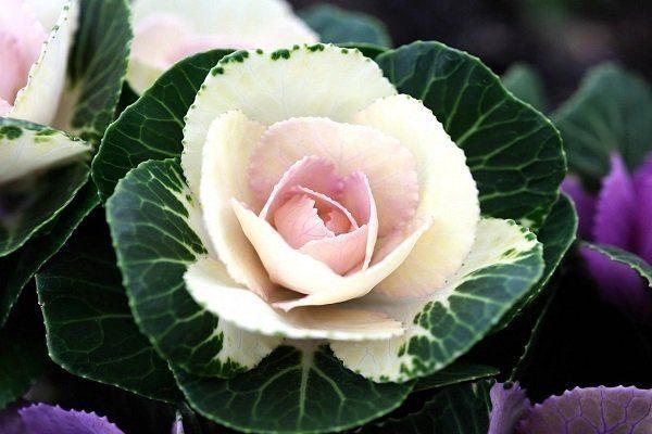 Розеточные сорта декоративной капусты