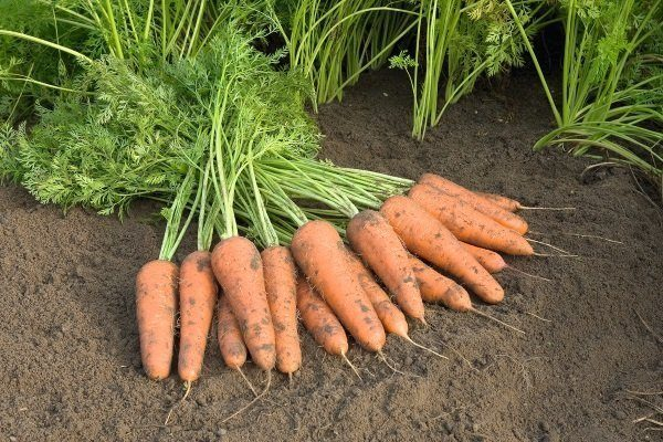 Просушивание урожая моркови
