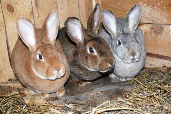 Содержание кроликов породы Рекс
