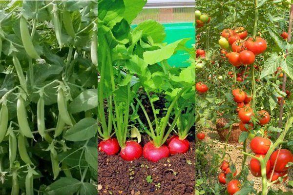 Горох+редис+томат