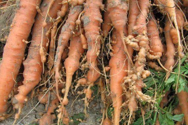 Морковь, повреждённая галловой нематодой