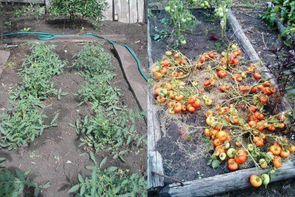 Кусты томатов Монгольский карлик