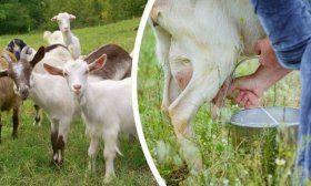 Породы коз молочного направления
