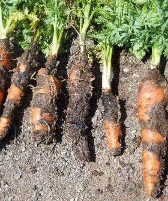 Ризоктониоз моркови