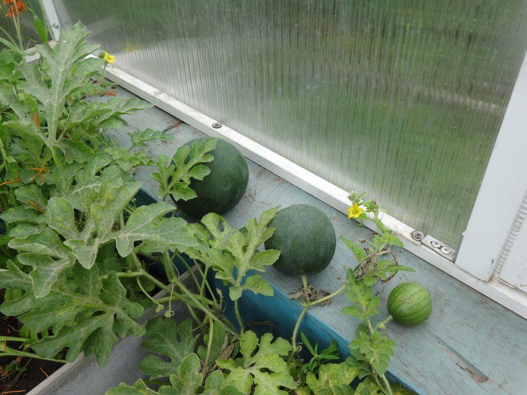 Можно ли в одной теплице выращивать огурцы и арбузы?