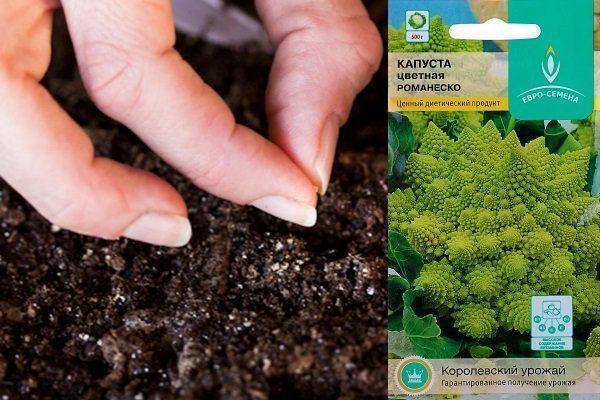 Посев семян капусты Романеско