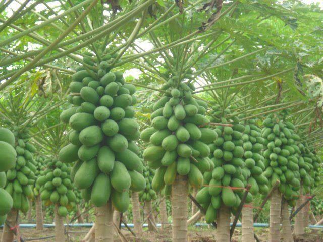 ферма Папайи
