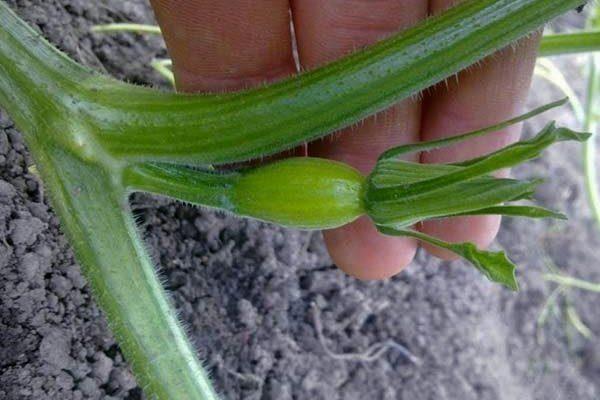 Формирование тыквы