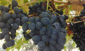 Культурный виноград