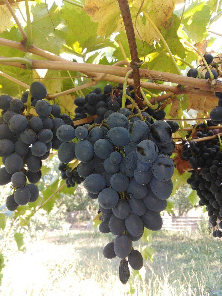 Культурный виноград не любит город