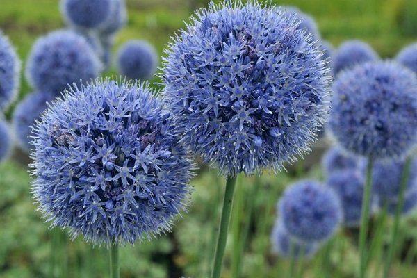 Голубой лук