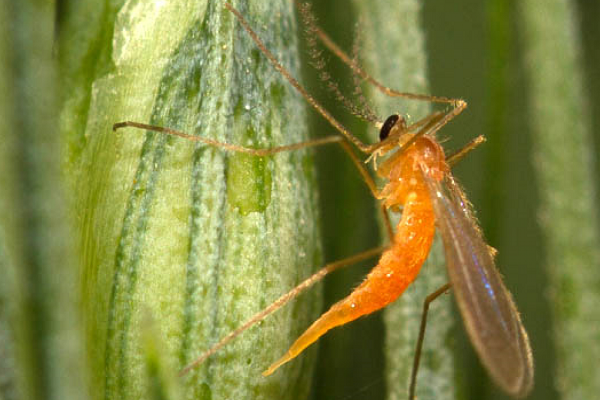 Желтая злаковая галлица (пшеничный комарик)