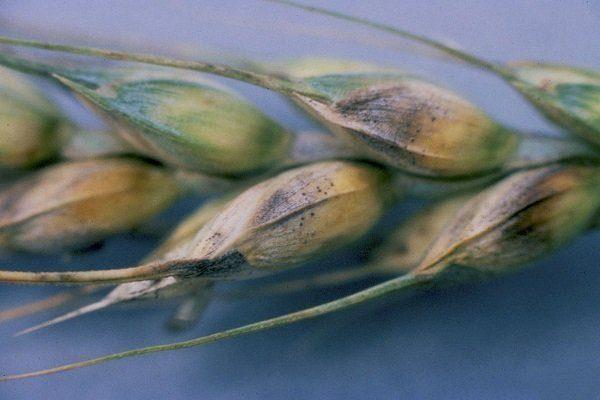 Оливковая (бурая) плесень овса