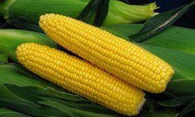 Кукуруза сорта Спирит