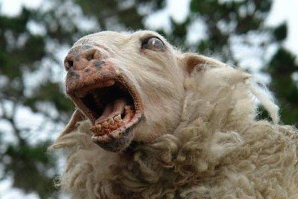 Бешенство у овцы