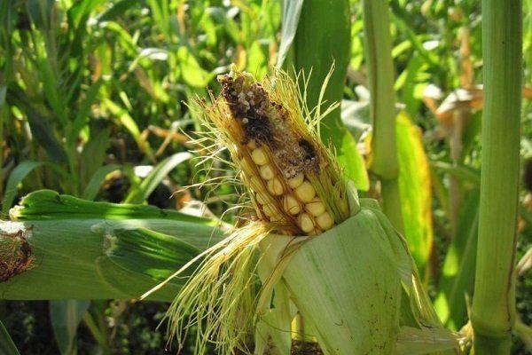Вредители кукурузы