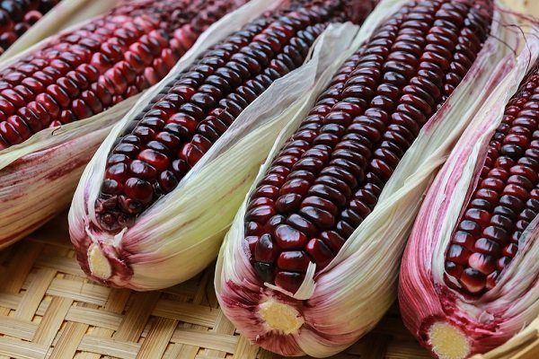 Цветная кукуруза сорта Северная Америка