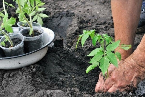 Посадка расссады томатов в грунт