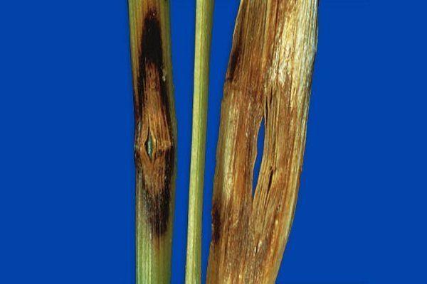 Ризоктониозная корневая гниль («остроглазковая» пятнистость)