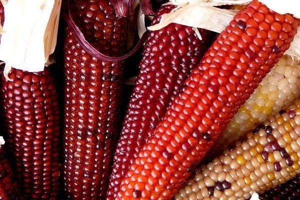 Красная Кукуруза сорта Полосатая конфетка