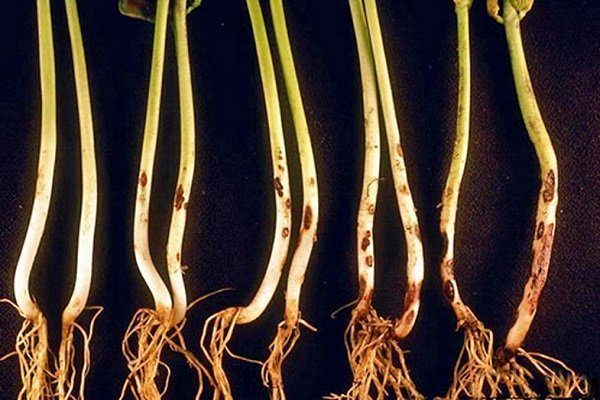 Гниль корневой шейки (глазковая пятнистость или ломкость стеблей)