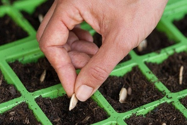 Посев цуккини на рассаду