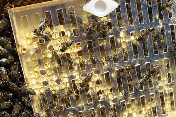 Выведение пчелиных маток