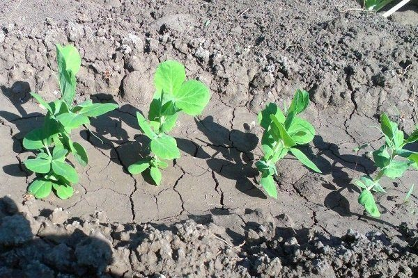 Выращивание гороха