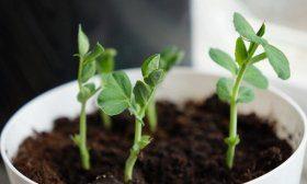 Выращивание гороха дома