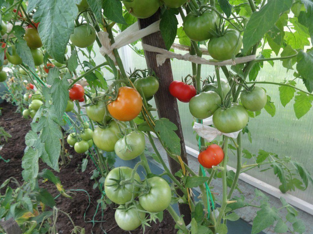 Обзор томатов в моей теплице