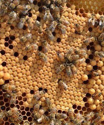 Пчелиный расплод