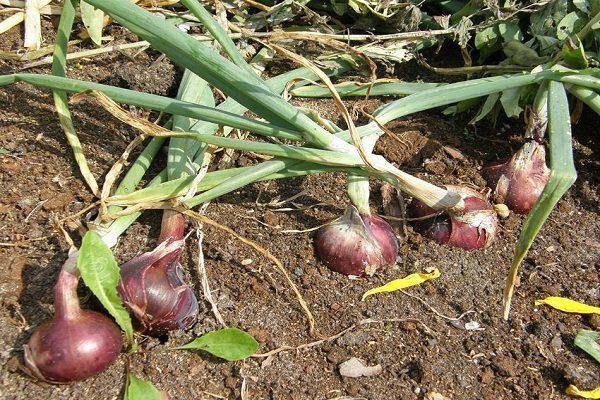 Выращивать лук сорта Ялтинский
