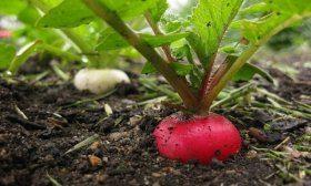 Выращивать редис