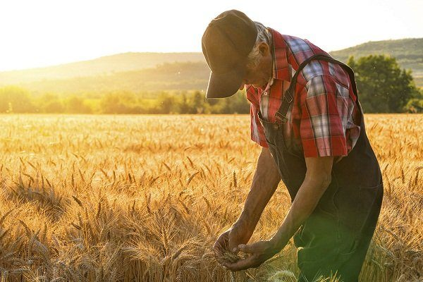 Уход за пшеницей