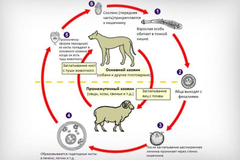 Жизненный цикл Echinococcosis
