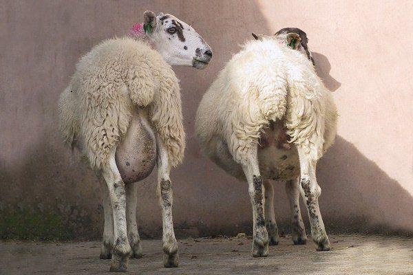 Вздутие живота у овцы справа