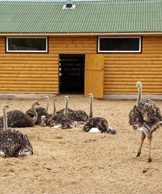 Загон для страусов