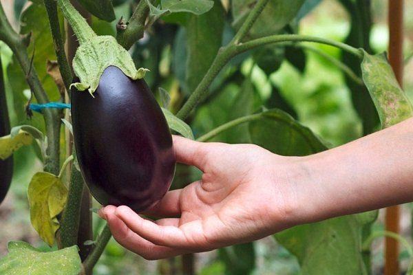 Выращивать баклажаны