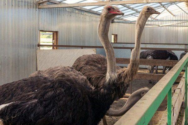 Загоны для полувольного содержания страусов