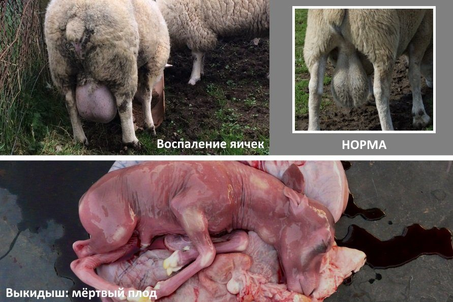 Бруцеллез у овец: воспаление яичек у самца, выкидыш у самки
