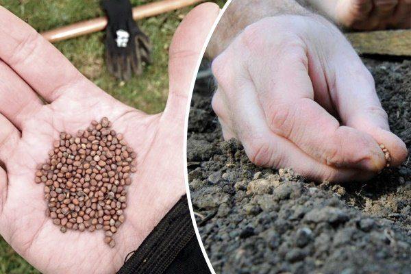 Подготовка и посев семян редьки Лобо