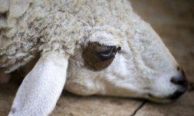 Больная овца