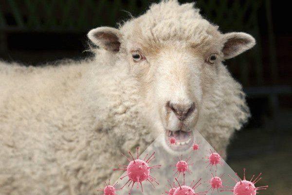 Аденоматоз легких у овцы