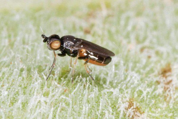 Ячменная муха